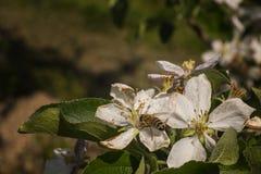 Vuele el reloj una abeja esa las fuentes de polen Fotografía de archivo libre de regalías