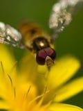 Vuele en la flor amarilla Fotos de archivo libres de regalías
