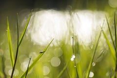 Vuele en la hierba de la mañana con descensos de rocío Foto de archivo libre de regalías