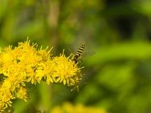 Vuele en la vara de oro, solidago, flor, primer con el fondo del bokeh, foco selectivo, DOF bajo Foto de archivo