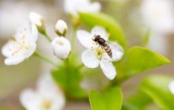 Vuele en las flores blancas en un árbol en primavera Fotos de archivo