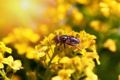 Vuele en una flor amarilla, un cierre para arriba Fotografía de archivo libre de regalías