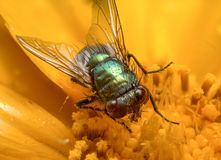 Vuele en una macro extrema de la flor amarilla imagenes de archivo