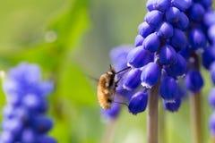 Vuele en vuelo recogiendo el néctar de un muscari de la flor Imágenes de archivo libres de regalías