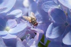 Vuele sosteniendo encendido la flor violeta con cierre encima de la visión detallada Fotos de archivo