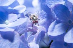 Vuele sosteniendo encendido la flor violeta con cierre encima de la visión detallada Fotos de archivo libres de regalías