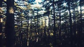 Vuele a través de Forest Trees, rayos del sol, luz metrajes