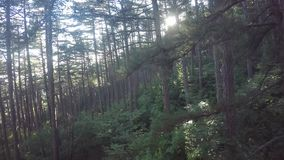 Vuele a través de Forest Trees, rayos del sol, luz almacen de video