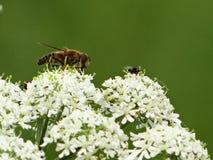 Vuele una abeja en una flor Imagenes de archivo
