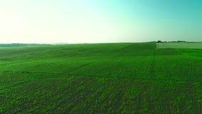 Vuelo aéreo del abejón sobre campo cada vez mayor verde 4K almacen de video