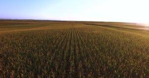 Vuelo aéreo sobre campo de la planta de maíz en la puesta del sol almacen de video