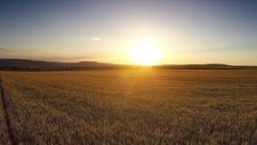 Vuelo aéreo sobre el campo de trigo en puesta del sol almacen de metraje de vídeo