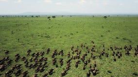 Vuelo aéreo sobre la precipitación del búfalo en el safari Mikumi de Tanzania metrajes