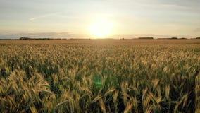 Vuelo aéreo sobre las tierras de labrantío de oro del campo de trigo para hacer frente a la puesta del sol de Sun metrajes