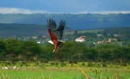 Vuelo africano del águila de pescados Fotografía de archivo