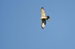 Vuelo Amplio-Con alas del halcón en un cielo azul Imagen de archivo libre de regalías