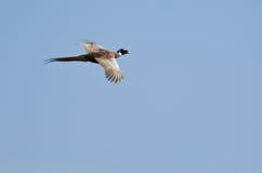 Vuelo Anillo-Necked del faisán en un cielo azul Fotografía de archivo