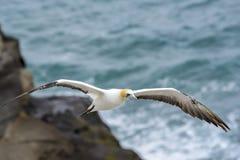 Vuelo Australasian del gannet Fotos de archivo