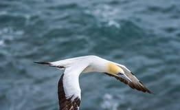 Vuelo Australasian del gannet Fotografía de archivo libre de regalías