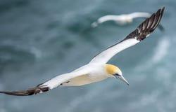 Vuelo Australasian del gannet Imagen de archivo