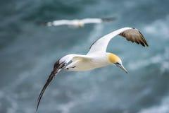 Vuelo Australasian del gannet Fotografía de archivo