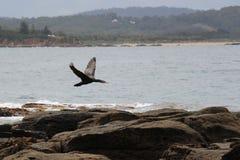 Vuelo australiano del cormorán en la isla de Broulee Foto de archivo