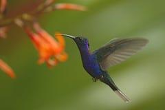 Vuelo azul grande de Violet Sabrewing del colibrí al lado de la flor rosada hermosa con el fondo verde claro del bosque Imagen de archivo
