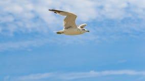 Vuelo blanco de la gaviota contra un cielo azul Foto de archivo libre de regalías