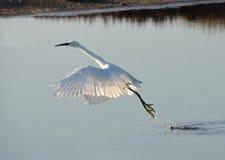 Vuelo blanco del egret lejos Foto de archivo libre de regalías