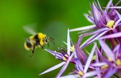 Vuelo borroso de la abeja antes de aterrizar en la flor púrpura Foto de archivo libre de regalías