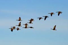 Vuelo canadiense de la multitud de los gansos Foto de archivo