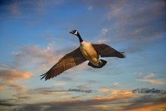 Vuelo canadiense del ganso en la puesta del sol Fotografía de archivo