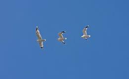Vuelo capturado en tres tiros - albatros del pájaro Fotos de archivo