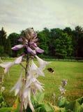 Vuelo cerca de una flor, verano del abejorro Imagen de archivo