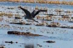 Vuelo cinerea del Ardea gris hermoso de la garza en los campos del arroz del parque natural de Albufera, Valencia, España Fondo d imagen de archivo libre de regalías
