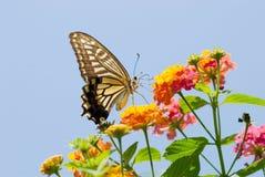 Vuelo colorido de la mariposa del swallowtail Fotos de archivo libres de regalías