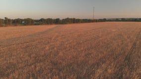 Vuelo con la rotación sobre un campo de trigo con los oídos de oro en la puesta del sol 100mbps Vista de la torre móvil fuera de  almacen de metraje de vídeo