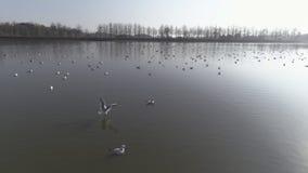 Vuelo con las gaviotas sobre el lago rodeado por el bosque foto de archivo