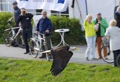Vuelo de cabeza blanca del águila antes de turistas Imágenes de archivo libres de regalías