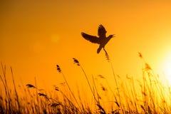 Vuelo de cabeza negra de la gaviota (ridibundus del Larus) en el cielo de la puesta del sol Fotos de archivo libres de regalías