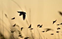 Vuelo de cabeza negra de la gaviota (ridibundus del Larus) en puesta del sol Fotografía de archivo libre de regalías