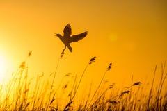 Vuelo de cabeza negra de la gaviota (ridibundus del Larus) en puesta del sol Fondo rojo del cielo de la puesta del sol natural, Fotografía de archivo