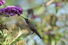 Vuelo de Calypte Ana del colibrí del ` s de Ana mientras que bebe el néctar de la mariposa Bush Fotos de archivo