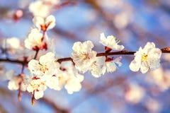 Vuelo de Cherry Blossom de la primavera en las flores florecientes Imágenes de archivo libres de regalías