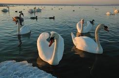 Vuelo de cisnes salvajes en un golfo Imagen de archivo