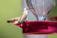 Vuelo de dos colibríes hacia alimentador del néctar Foto de archivo