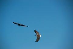 Vuelo de dos Eagles en cielo Imagen de archivo libre de regalías