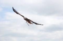Vuelo de Eagle Fotografía de archivo libre de regalías