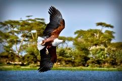 Vuelo de Eagle Imagen de archivo libre de regalías