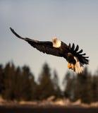 Vuelo de Eagle calvo cerca de Homer Alaska Fotografía de archivo libre de regalías